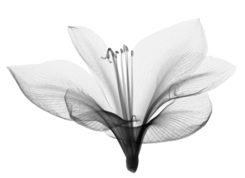 softmarshmallow:  x-ray flower photograph by Nick Veasey  Our instructor told us about how one time the techs watered flowers with diluted contrast, and when they x-rayed them the contrast had spread throughout the veins of the plant and apparently produced a really pretty image.