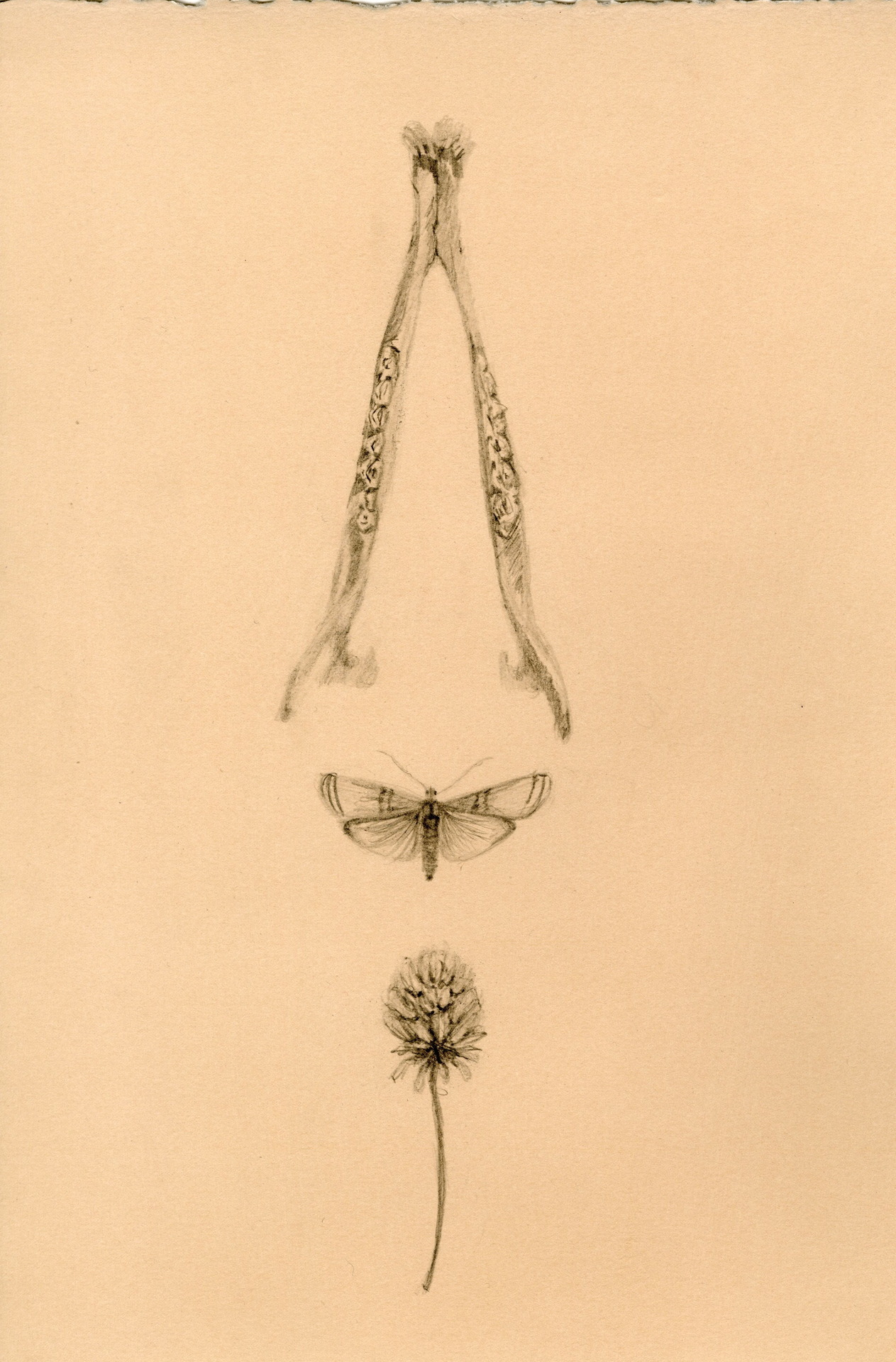scientificillustration:  a deer jaw, a moth, a clover flower