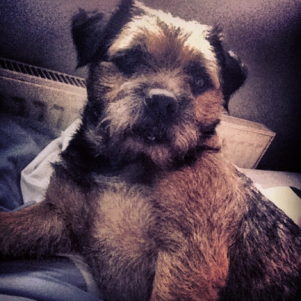 RALPH! #dog #cute #terrier #borderterrier #bestoftheday #photooftheday #instagram #iphoneography #iphonesia #iPhone #popular #ig #iphoneonly #iphone4 #instagood #webstagram #instagramhub #jj #igers #instamood #instagrammers #ignation #instago #igdaily (Taken with Instagram)