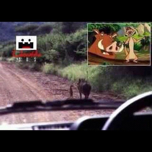 They are real!!! #disney #cartoons #thelionking #timon #pumba #real #alive (Taken with Instagram)