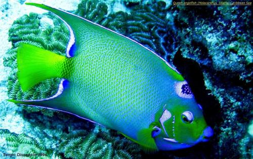 Queen angelfish (Holacanthus  ciliaris) Caribbean Sea by sergio discepolo 1994