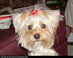 Submitted by Carole S: This is Abby. Our precious little Yorkie girl. We were opening gifts at Christmas and I snapped this photo. It is our favorite of many photos of our girl! Original Article