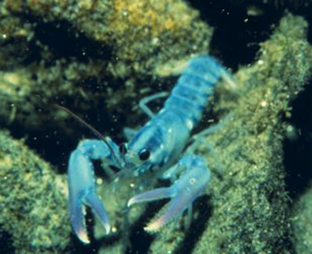 Aquarium researcher quoted in this story about lobsters of a different color (follow link below). And tune in to the Aquarium's News Blog later today for another lobster story: A 21-pound lobster is being donated to the Aquarium. Pictures of the big guy coming right up! discoverynews:  Mysterious, Colorful Lobsters Being Caught Blue, pink, orange and even calico lobsters are winding up in traps and no one is really sure why. keep reading