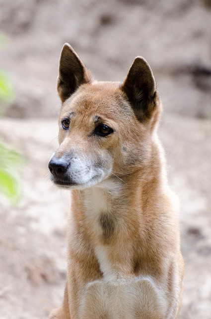 thepredatorblog:  New Guinea singing dog (by Morjas)
