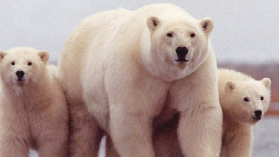 mothernaturenetwork:  Climate change influenced polar bear and brown bear mating — and will againAs ice continues to melt at the North Pole, polar bears will likely spend more time among other bears, including during mating season.