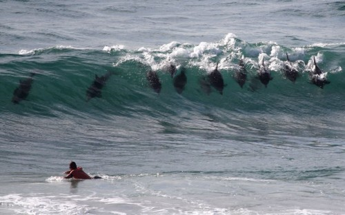 theanimalblog:  A pod of bottlenose dolphins surf a wave at Byron Bay, New South Wales, Australia. This photograph was snapped by Cliff Russell while he was watching his 14-year-old son Nat bodyboard.  Picture: Cliff Russell/Solent News & Photo Agency  so awesome!
