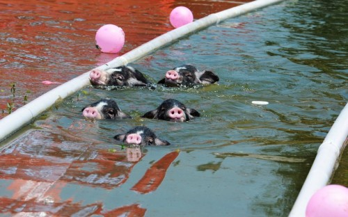 theanimalblog:  A piglet swimming competition is held in Nanxiang, southern China's Hunan Province. Nine piglets were selected from a local farm for the contest during which they had to swim along a water course. According to the organiser the event was to welcome the London Olympic Games.Picture: Quirky China News / Rex Features