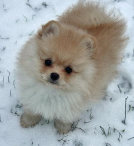 Today's Daily Puppy: Sputnik the Pomeranian! (via Puppies | Daily Puppy)