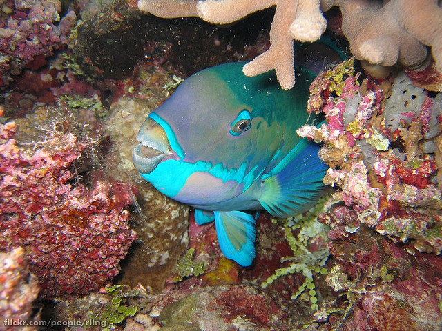 oceansoftheworld:  (Photo by Richard Ling) Steephead parrotfish (Chlorurus microrhinos) are usually green-blue overall with a pinkish bar on each scale. The tooth plates are blue-green, there is a blue-green band above the mouth and a wider one below, and an irregular blue-green line crosses the cheek. This species also has a less common red phase.The Steephead Parrotfish grows to 70 cm in length and it occurs in tropical marine waters of the Western and Central Pacific. See this post for more on parrotfish. (Source)