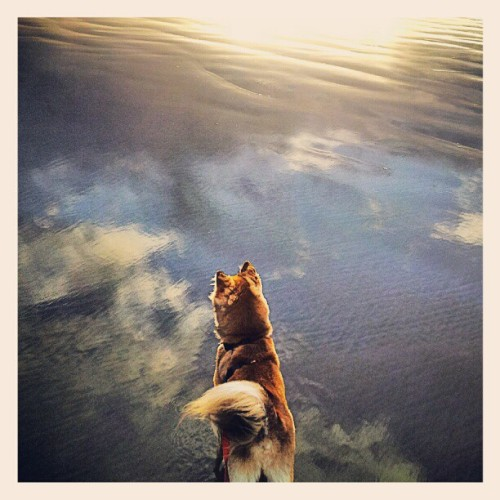 He loves the beach! #shibastagram #shibainu #beautiful #beach #sunset #sun #summer #dog #cute #puppy #filter #instagram #instagood #love #iphoneography (Taken with Instagram)