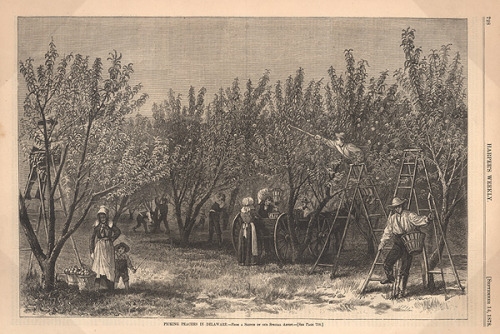 "Delaware Peach Girls   ""A key factor in this migrant work force (of the Delaware peach industry) was the ""Peach Girls."" Usually in the 16 to 20 year old age group, they were recruited from large cities thru advertisements in the newspapers. John Harris' Round Top Farm had over 600 peach girls working on it in 1875.  Since they were poor with few job opportunities they were easy prey for the advertisements that promised they could earn $1.50 to $2.00 per day and only pay $2.00 a week for board. On arriving at Round Tree they found the situation to be different than advertised. Instead of $1.50 per day they worked 15 hours for fifteen to twenty cents a day. Their board consisted of a bale of hay to sleep on and for food it was left over fruit. They simply did not have the money to return home nor was there much chance of earning the money to return.  Round Tree was but one example; many ""peach girls"" were treated better on other farms and actually paid an acceptable wage of around one dollar per day.""  Read on about the Delaware peach business here."