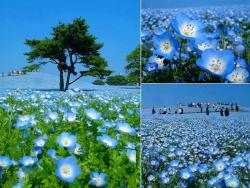 winterbreeze16:  Hitachi Kaihin Park in Japan.http://travelingguideinfo.com/hitachi-seaside-park-japan/