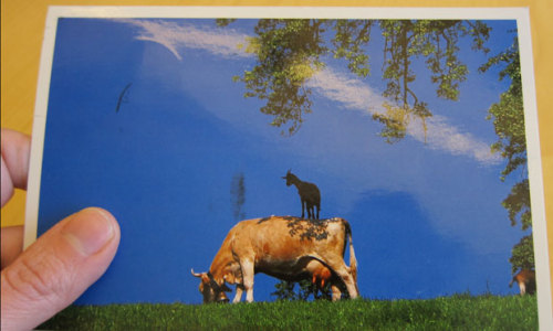 wnycradiolab:  Goat on a Cow. On a postcard. From a listener in Switzerland. We love goats on cows. Who's with us? Any other photos out there?