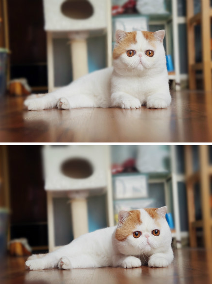 Snoopy - Everyone's Favorite Chinese Exotic Shorthair Kitteh