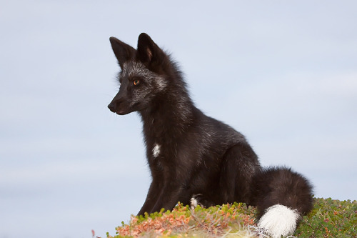 fauxerious:  Young Black Fox in the Wild 12 — Witch-Dr-Tim