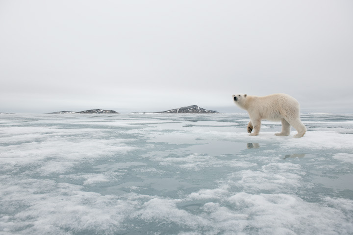 """Waiting for Winter"" - Guest Post by Dr. Andrew Derocher / Polar Bears International The first of our collared females near Churchill swam ashore on July 7th. For perspective, this is a month earlier than the 1980s. Other bears have trickled to land since. On the break-up side of things, it looks like 2012 is fairly similar to other years since 1998. The downside is that the frequency of the early break-ups is occurring much more often. Because polar bears ""remember"" good and bad years by either storing or depleting fat stores over several years, a run of bad years can run down a population. This happens because adult females deplete the fat stores needed to either produce cubs when they're pregnant or to produce milk when they have cubs. Based on the aerial survey conducted last summer, recruitment of new polar bears in the Churchill area is well below normal now. Some of the bears got lucky this year. The last of the ice has lingered off the western coast of Hudson Bay. This atypical break-up means bears in the area can try to catch another seal or two before disembarking for land. An extra seal might make the difference between a mother having enough milk for her cubs to survive the ice-free period or not. We've seen the consequences of mothers running out of milk and it isn't pleasant.  The big question now is: when will the Bay freeze-up? The weather in Churchill has been warmer than normal. A warmer Bay means it takes longer for the ice to form. At the peak of summer, polar bear fans are pulling for a nice cold summer in the Arctic: a bit of a not in my backyard sort of deal. Nonetheless, I think the bears would appreciate a cold summer in their backyard."