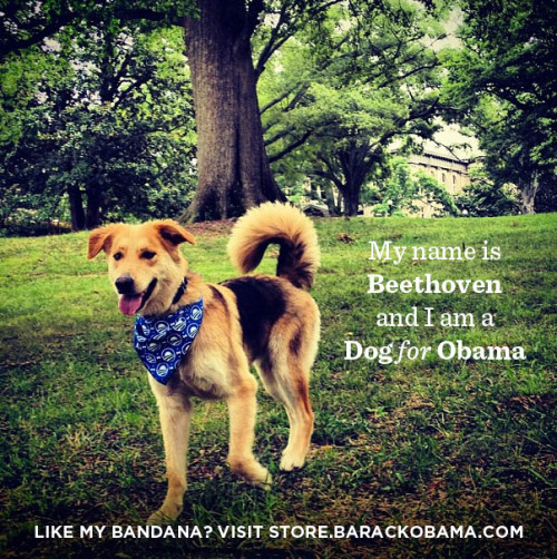 ofa-nc:  Beethoven from Durham was spotted looking dapper in his Obama 2012 bandana.  Everyone wave hi and press the follow button for our friends at OFA NC (and for Beethoven).