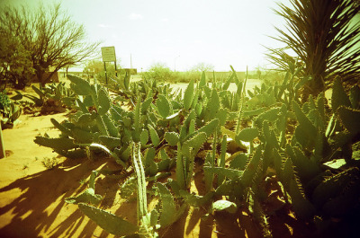 Cacti on Flickr.Photo Credit: Matt Brasch Location: Las Cruces, NM Date: April 2, 2012 Things Featured in Photo: Desert, Cacti Camera: Superheadz Black Slim Devil Focal Length: 22 ISO: 200 Film Stock: Vista 200 AGFA Photo (2 years past expiration date)