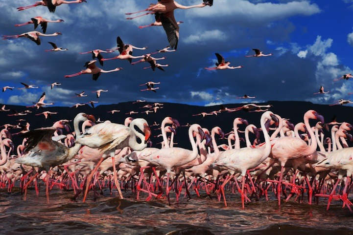 Millions of flamingos in Kenya by Martin Harvey