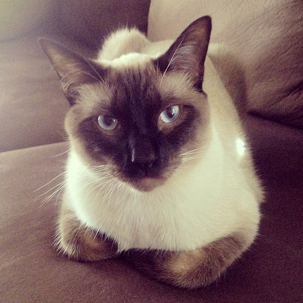 Chauncey loves the new couch #siamese #catpeople #cat @cats_of_instagram #chaunceythecat (Taken with Instagram)