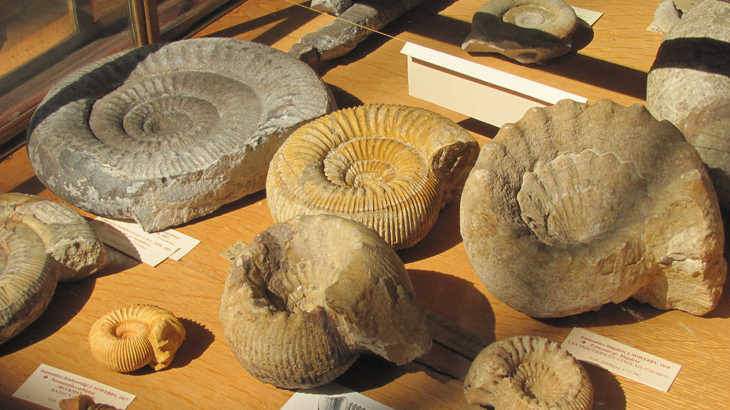 museumofnaturalhistory:  Ammonites (by Koston Photography)