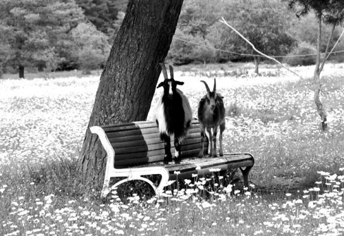 Goats on a park bench.  It's a beautiful day to relax, good choice goats.