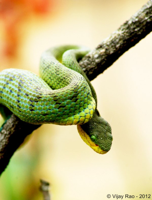 id-rather-be-free:  Bamboo Pit Viper - Bangalore (by Hamadryad)