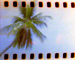 The coconut tree always reminds me of summer and the golden days by the beach. Holga 120N by Melancholik