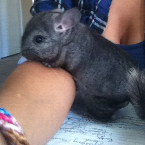 I #love this #chinchilla! 😍 #nofilter (Taken with Instagram)