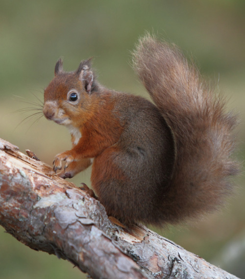 llbwwb:  Cute Tail:) Red Squirrel (Sciurus vulgaris) 5381 (by Highland Andy)