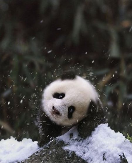 magicalnaturetour:  Can't bear the snow via Cute Overload :)