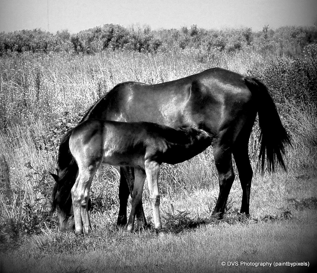 Mother Horse and Foal Nursing