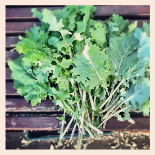 Morning harvest #kale #philly #garden (Taken with Instagram)
