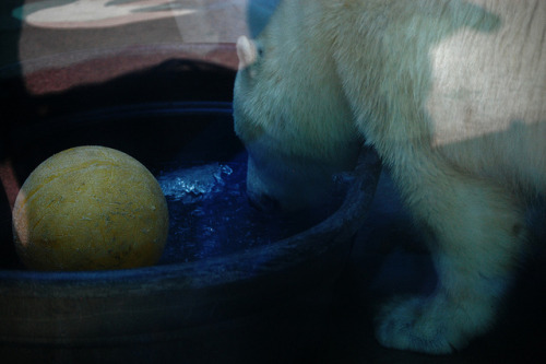Qannik, on Flickr.Qannik the polar bear at the Louisville Zoo in Kentucky