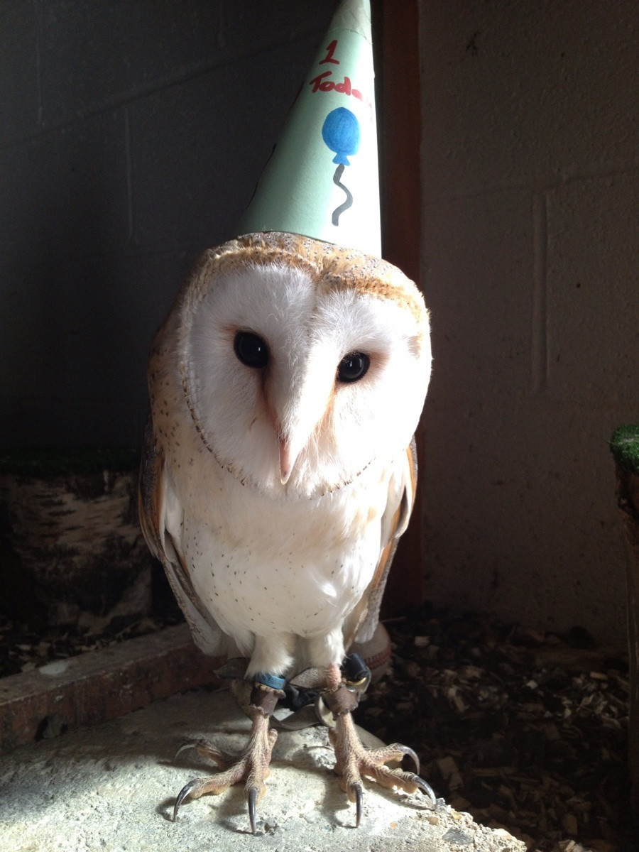 "For the follower who adores owls, here's one in a party hat.  ""For those of you that are wondering, this is Edna and she is my Barn owl. I try not to think of her as a 'pet' as she is a bird of prey and not really a domesticated bird despite being super friendly. She lives with me and I take her to the farm where I work every day so that I can fly her (loose) in the fields. She loves flying and having been around people since she was 10 weeks, loves people too. She is tethered in the photo. That's not only for ease so I can pick her up to move her, but also so she does not damage her important wing feathers. If she did that she wouldn't be able to fly. It's very common practice in falconry. If any one has any questions I'm happy to answer them :)"""