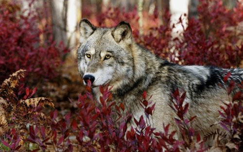 "animalgazing:  ""The wolf is neither man's competitor nor his enemy. He is a fellow creature with whom the earth must be shared."" -L. David Mech Please SHARE our Wildlife and Nature page.https://www.facebook.com/pages/Wild-for-Wildlife-and-Nature/279792438707552"