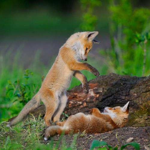 animalgazing:  Playful Red Fox Kits ♥The red fox is the largest of the true foxes and the most geographically spread member of the Carnivora, being distributed across the entire Northern Hemisphere from the Arctic Circle to North Africa, Central America and Asia.Please SHARE our Wildlife and Nature page.https://www.facebook.com/pages/Wild-for-Wildlife-and-Nature/279792438707552