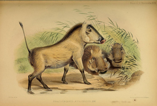 Phacochoerus aethiopicus - The Desert Warthog by BioDivLibrary on Flickr. Proceedings of the Zoological Society of LondonLondon :Academic Press, [etc.],1833-1965..biodiversitylibrary.org/page/37027941