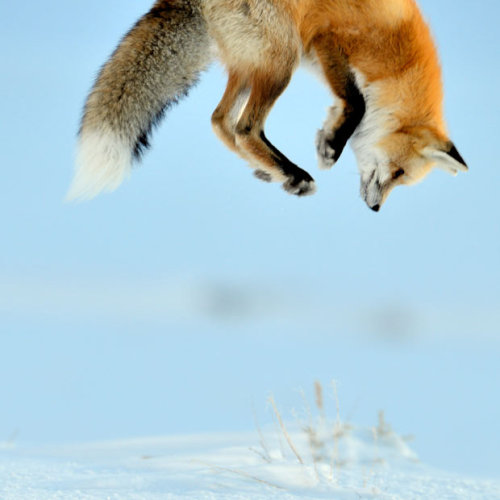 magicalnaturetour:  Picture: Richard Peters / Rex Features via Telegraph :)  Weeeeeeeeeee~~!  Some small rodent's about to get his house smashed in and eaten ^^
