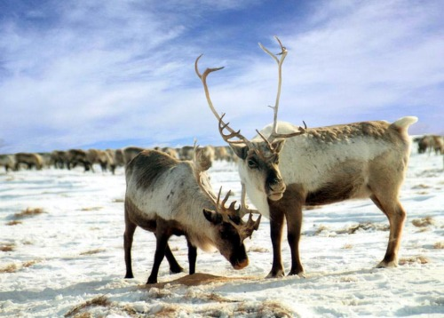 Reindeer migration, Sweeden