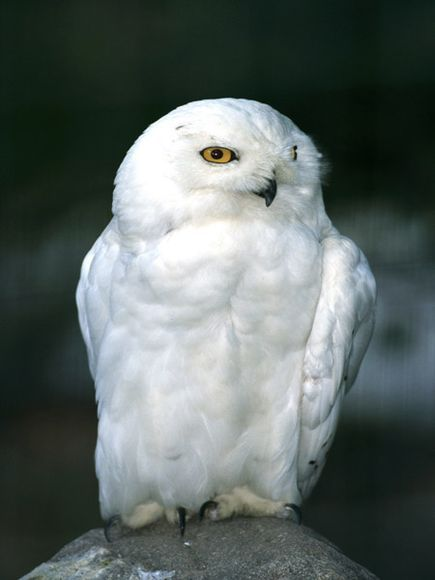 creepicrawlies:   The snowy owl's beautiful white plumage helps to hide it in its Arctic habitat. Only the males are completely white. Chicks are dark and spotted, while the females are white with spots on their wings.  Photograph by Norbert Rosing