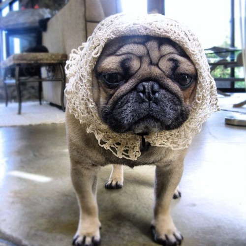 aplacetolovedogs:  From @insitu #ig #pug #adorable  (Taken with Instagram)