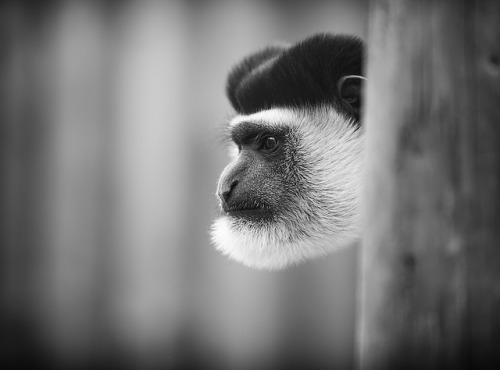 animals-animals-animals:  King Colobus (by Mr Fujisawa)