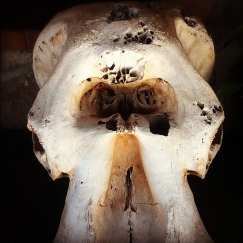Elephant skull #africa #safari #travel  (Taken with Instagram)
