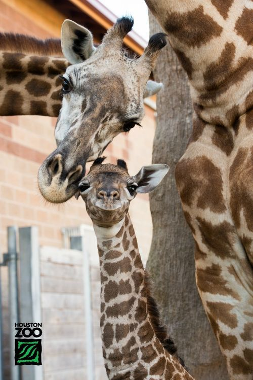 The Houston Zoo is proud to announce the birth of a ­­male Masai Giraffe. Mom Tyra delivered the healthy baby shortly before 8 p.m. on July 14 following a 14 month pregnancy. This is 14-year-old Tyra's seventh calf. The proud first time father, Mtembei is 5 years old. (via zooborns)