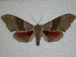 Let's celebrate National Moth Week with a post on the Big Poplar Sphinx! Pachysphinx occidentalis begin life by exiting eggs left by the mother moth on leaves of a sheltering plant. They will go through metamorphosis in shallow burrows underground. Before becoming moths, they are the cliche green caterpillars everybody loves. The larvae will feed on cottonwood. These moths can be seen flying in Alberta and North Dakota, all the way to Washington, Texas, Arizona, southern California, and Baja California Norte.
