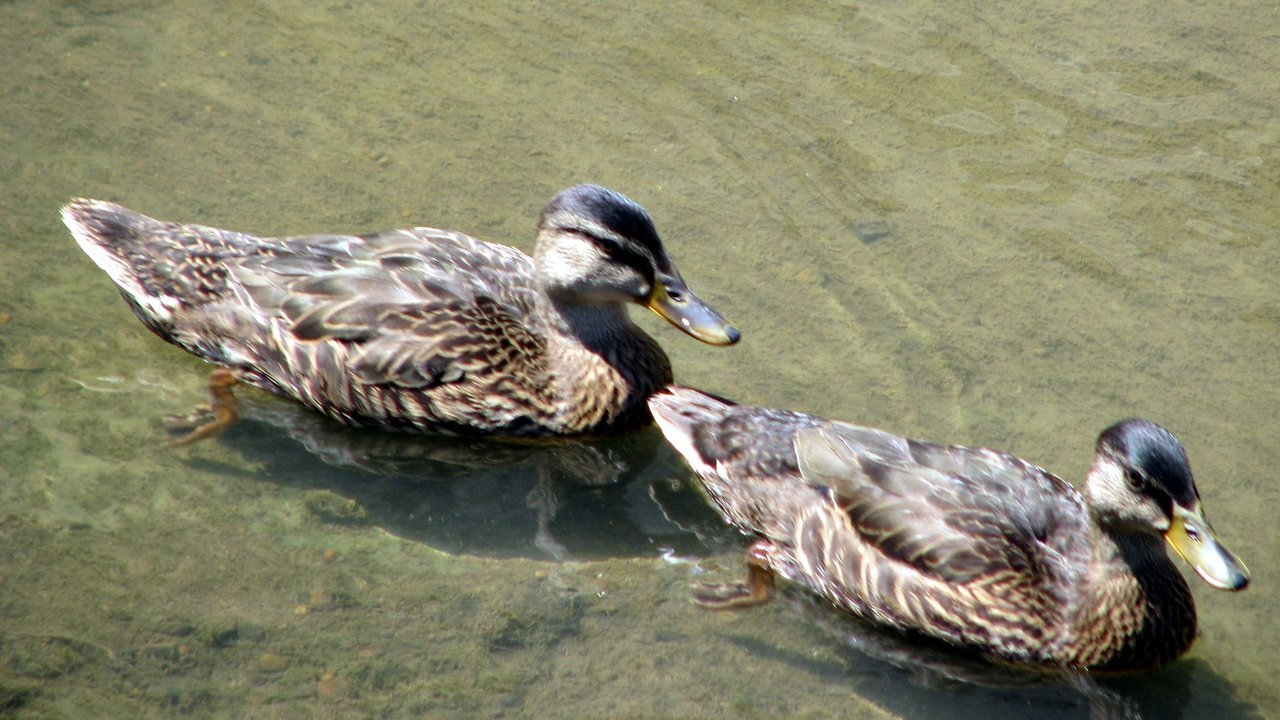 Waterloo ducks