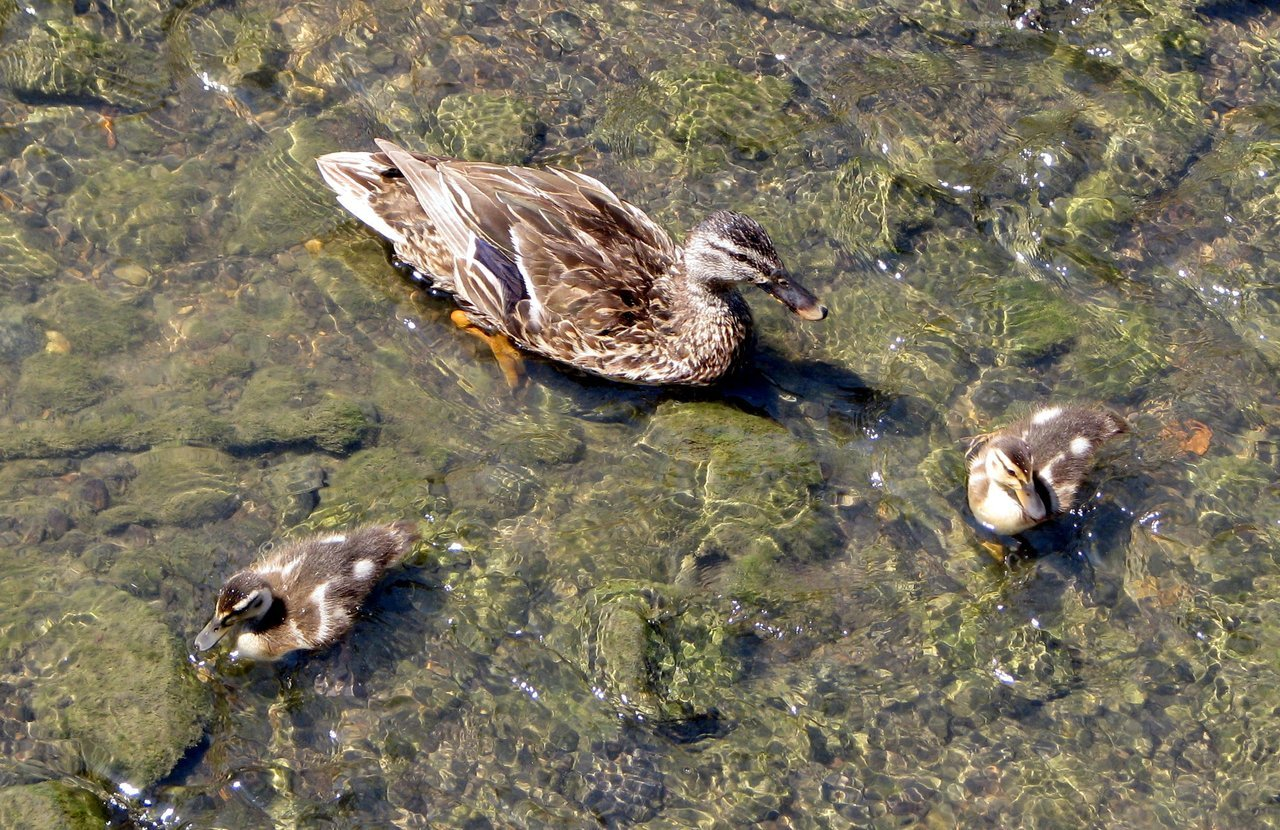 urban duck family