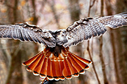 RED TAIL !! by Picture Taker 2 on Flickr.