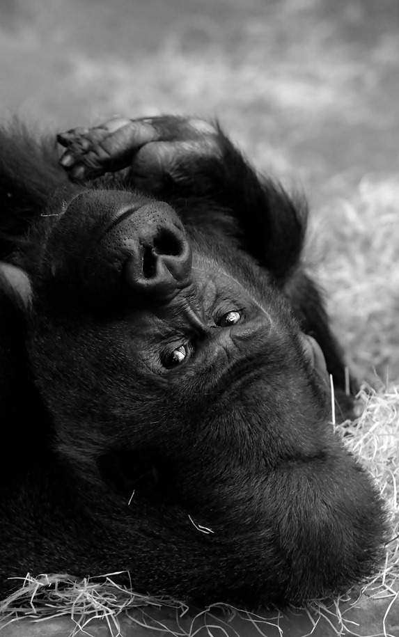 Male gorilla Buzandi at Hannover zoo.